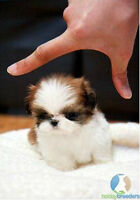 Looking 2 buy a TEACUP SIZE (7 lbs max adult weight) shih tzu