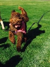 LOST DOG: GLEN IRIS Ashburton Boroondara Area Preview