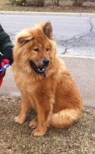 "Young Male Dog - Golden Retriever-Chow Chow: ""Ben"""