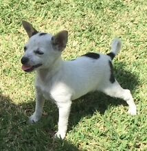 Chihuahua Female Purebred Oakville Hawkesbury Area Preview
