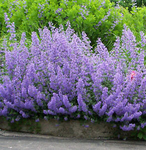 nepeta six hills giant fragrant catmint plant tall hummingbird mint blue flowers. Black Bedroom Furniture Sets. Home Design Ideas