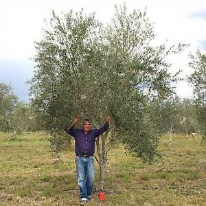 Mature Olive Tree Large Centre Piece Ipswich City Preview
