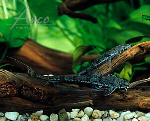 Looking for a whiptail catfish