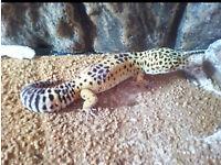Leopard Gecko + Vivarium + 2 Cricket Pens