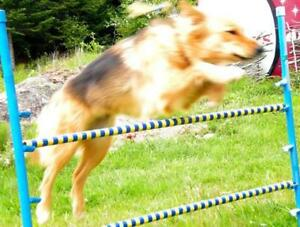 FUN DOG AGILITY AFTERNOON  open to everyone
