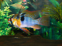 Blue ram.Catappa Leaves.snow flake shrimp food Discus Amano