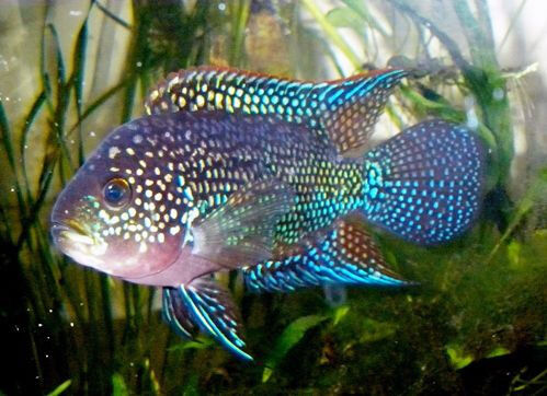blue gene jack dempsey cichlid female in ealing