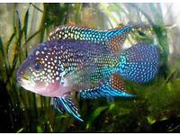 Blue gene Jack Dempsey cichlid (Female)