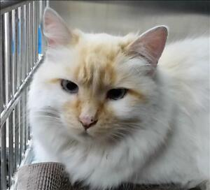 "Adult Female Cat - Domestic Long Hair: ""Angel"""