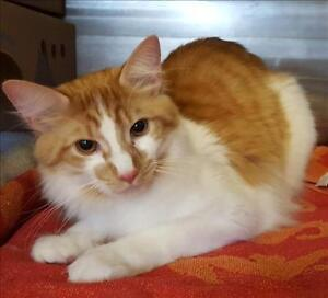 "Young Male Cat - Domestic Short Hair: ""Doyle"""