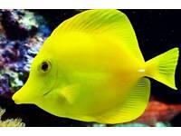 Yellow tang marine fish