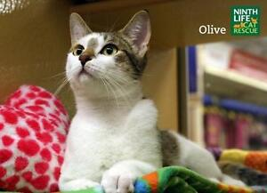 "Young Female Cat - Domestic Short Hair: ""Olive"""