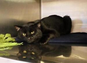 """Adult Male Cat - Domestic Short Hair (Black): """"Cassidy"""""""