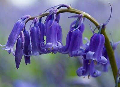 25 ENGLISH BLUEBELL BULBS Large Spring Flowering Perennial Bulbs Flower Plant