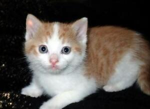 """Baby Male Cat - Domestic Short Hair - orange and white: """"Liam"""""""