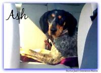 """Young Female Dog - Bluetick Coonhound: """"Ash"""""""