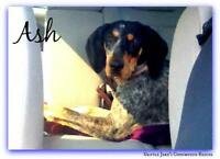 "Young Female Dog - Bluetick Coonhound: ""Ash"""