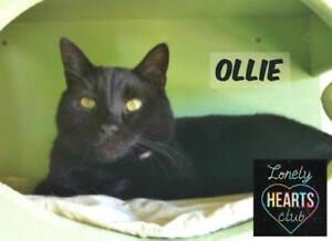 """Adult Male Cat - Domestic Short Hair: """"Ollie"""""""