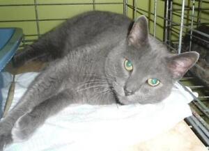 "Senior Male Cat - Domestic Short Hair: ""Grey 15 (Stray)"""