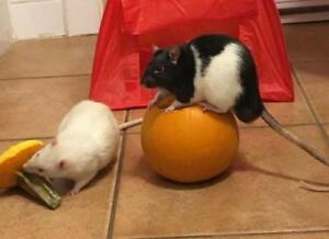 "Adult Male Small & Furry - Rat: ""Romulus (neutered) & Remus"""