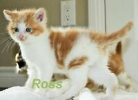 """Baby Male Cat - Domestic Short Hair: """"Ross - Curious Boy!"""""""