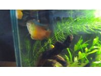 3x red neon dwarf gourami's- 1male and 2 females - £10 for all