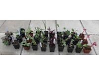 30 x Mixed Young Hardy Garden Plants in Pots - £20 - Glenrothes