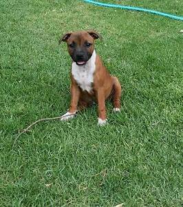 Staffordshire bull Terrier English Mudgee Mudgee Area Preview