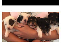 Jackrussel and chihuahua puppies for sale