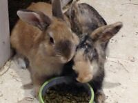 Rabbits looking for a new home - Free!