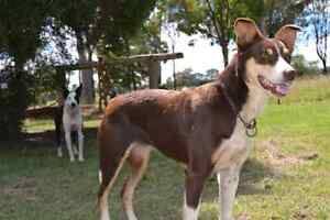 Kelpie x Border collie puppy Mount Evelyn Yarra Ranges Preview