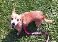 "Adult Female Dog - Chihuahua: ""Sugar Pie"""