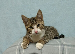 "Baby Male Cat - Tabby (Brown): ""Tommy"""