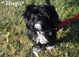 "Baby Male Dog - Shih Tzu: ""Hugo"""
