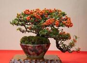 Orange Tree Seeds