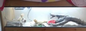 2 female bearded dragons and 4ft set up