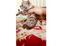 Gorgeous Purebred Female Snow Bengal Kitten