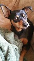 "Senior Female Dog - Miniature Pinscher: ""Sas"""