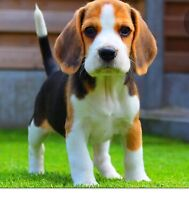 Want A Beagle Puppy Dogs Puppies For Rehoming Mississauga