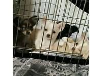 Chihuaha puppies