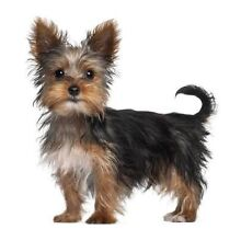 Wanted Yorkshire Terrier Airport West Moonee Valley Preview