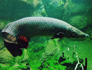 Looking for a arapaima gigas