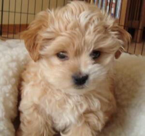 Wanted: Brown Morkie for January