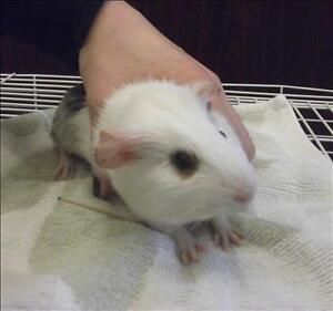 """Adult Female Small & Furry - Guinea Pig: """"Wizard"""""""