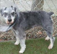 "Adult Male Dog - Schnauzer: ""Toby"""
