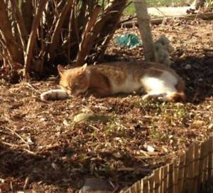 Friendly Neutered Male Cat Free to Good Barn or Farm Home