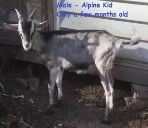 Alpine Buckling For Sale