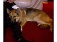Female German shepherd for re homing