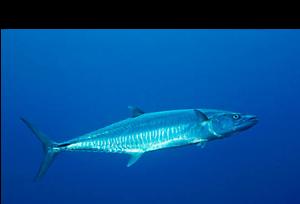 Wanted Spanish Mackerel Quota Bargara Bundaberg City Preview