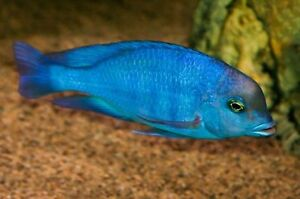 Wanted Blue Dolphin Cichlid *Cyrtocara Moori Kitchener / Waterloo Kitchener Area image 2